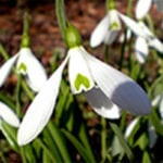 single snowdrop unsorted