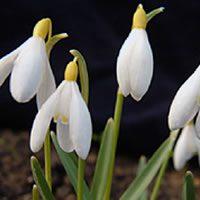 Galanthus Sandersii