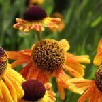 cambo garden flowers