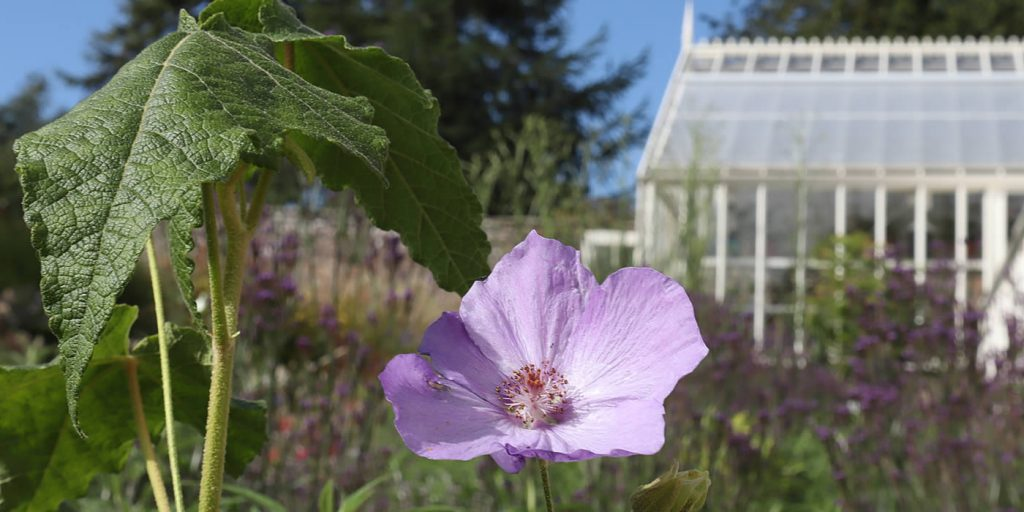 purple flower next to green house