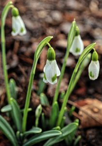 Virtual snowdrop festival - Specialist varieties with Lady Erskine